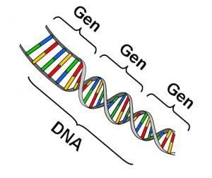 Een gen is een stukje afgebakend DNA (Bron: erfocentrum)