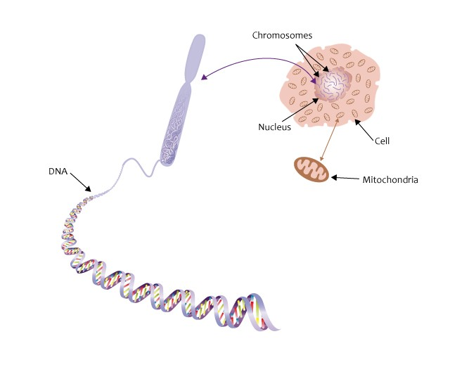 DNA in de chromosomen in de celkern